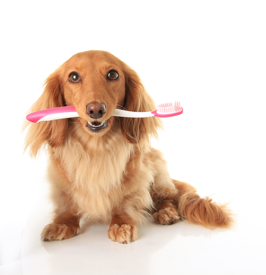 bigstock-Dachshund-dog-with-a-toothbrus-35819009.jpg